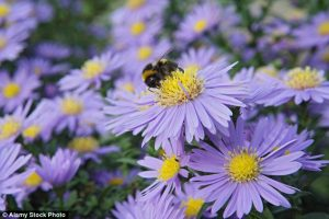 St Michael is celebrated as a protector from darkness and evil, so the Michaelmas daisy fights against the advancing gloom of autumn and winter.